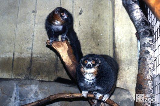 Mongoose Lemurs Up Close