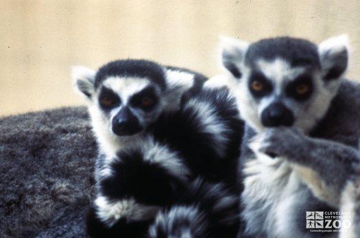 Ring-Tailed Lemur Pair Of Lemurs