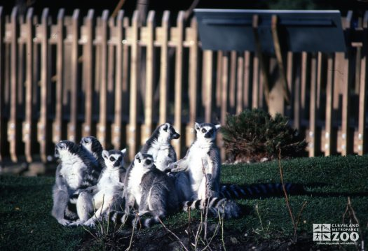 Ring-Tailed Lemurs 6 Sitting In Grass