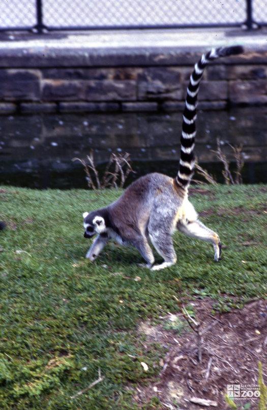 Ring-Tailed Lemur Walking In Grass