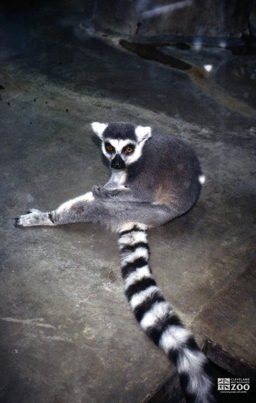 Ring-Tailed Lemur Grooming
