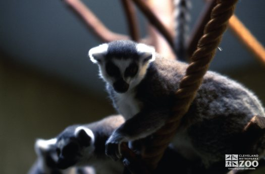 Ring-Tailed Lemur Playing On Rope