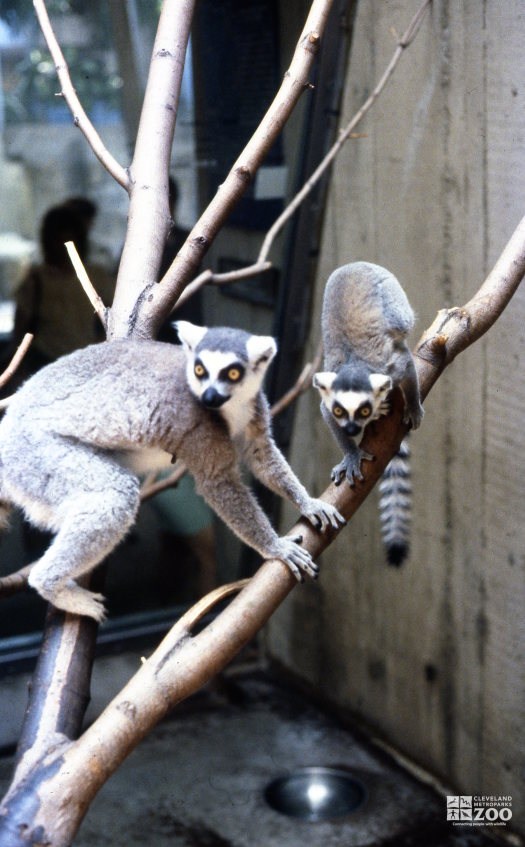 Ring-Tailed Lemurs In Tree 2