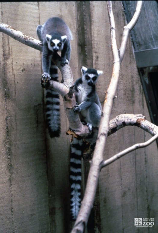 Ring-Tailed Lemurs In Tree 3