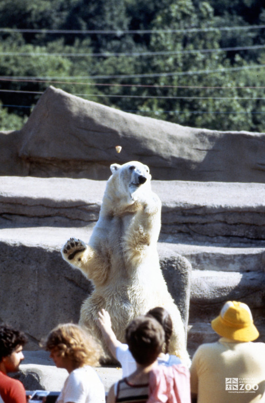 Polar Bear Sitting Up For Guests
