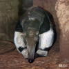 Anteater, Giant