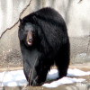 Bear, North American Black
