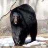 Bear, North American Black