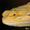 Bearded Dragon, Inland