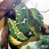 Boa, Emerald Tree