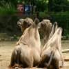 Camel Bactrian