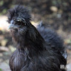 Chicken, Silkie Bantam