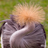 Crane, African Crowned