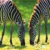 Zebra, Grant's