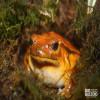 Frog, Sambava Tomato