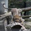 Leopard, Persian