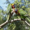 Lorikeet, Ornate