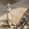 Meerkat, Slender-Tailed