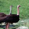Ostrich, Common