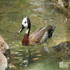 Duck, White-Faced Whistling