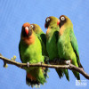 Lovebird, Black-cheeked