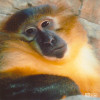 Mangabey, Golden-bellied