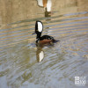 Merganser, Hooded