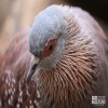 Pigeon, Speckled