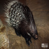 Porcupine, Indian Crested
