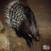 Porcupine, Indian Crested