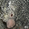 Porcupine, Prehensile-Tailed