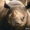Rhinoceros, Eastern Black