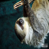 Sloth, Linne's Two-Toed Sloth
