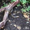 Snake, Eastern Fox