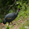Guineafowl, Eastern Crested