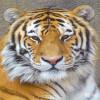 Tiger, Amur (Siberian)