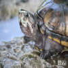 Turtle, Striped Mud