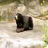 Bear, Malayan Sun