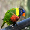 Lorikeet, Green-Naped
