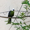 Turaco, White-Crested