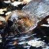 Beaver, Canadian