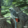Parrot, African Gray