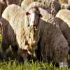 Sheep, Merino