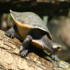 Turtle, Red-Bellied Short-Necked