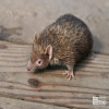 Tenrec, Lesser Madagascar Hedgehog
