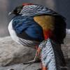 Pheasant, Lady Amherst's
