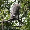 Monkey, Bolivian Gray Titi