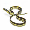 Snake, Eastern Plains Garter