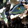 Sohal Tang Surgeonfish