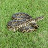 Python, Burmese